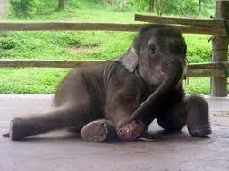 Elephantlaydown