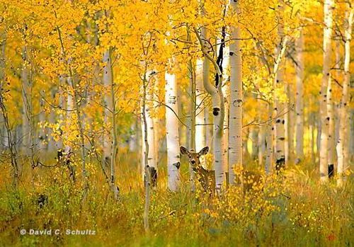 Autumn_aspen_3_1712